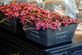 Fittonia ´Anne/Mosaic Pink´