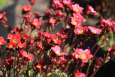 Saxifraga harder zwerg