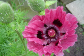 Papaver Orientale Patty´s Plum