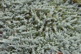 "Juniperus Horizontalis ""Blue Chip"""