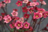Saxifraga arendsii ´Highlander Red´